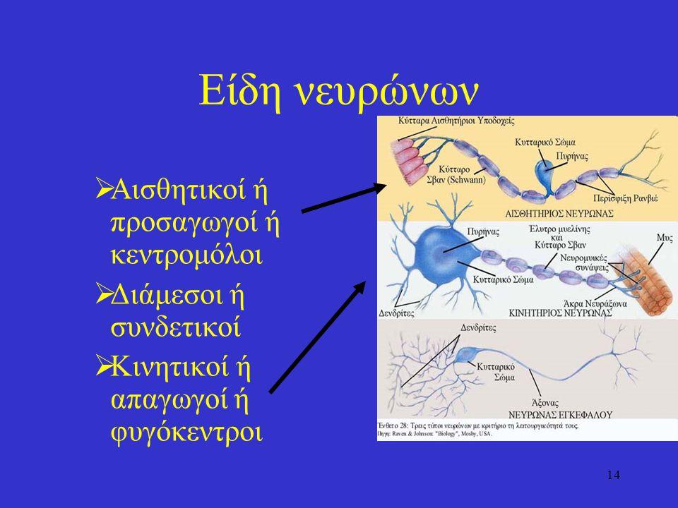 14 Είδη νευρώνων  Αισθητικοί ή προσαγωγοί ή κεντρομόλοι  Διάμεσοι ή συνδετικοί  Κινητικοί ή απαγωγοί ή φυγόκεντροι