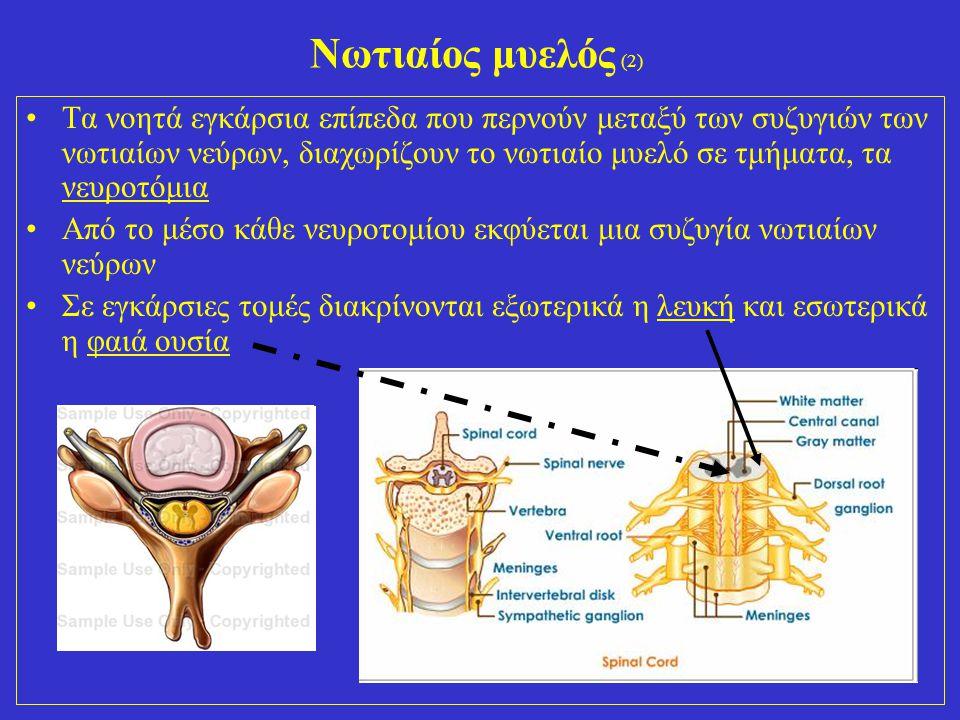 26 Νωτιαίος μυελός (2) Τα νοητά εγκάρσια επίπεδα που περνούν μεταξύ των συζυγιών των νωτιαίων νεύρων, διαχωρίζουν το νωτιαίο μυελό σε τμήματα, τα νευροτόμια Από το μέσο κάθε νευροτομίου εκφύεται μια συζυγία νωτιαίων νεύρων Σε εγκάρσιες τομές διακρίνονται εξωτερικά η λευκή και εσωτερικά η φαιά ουσία