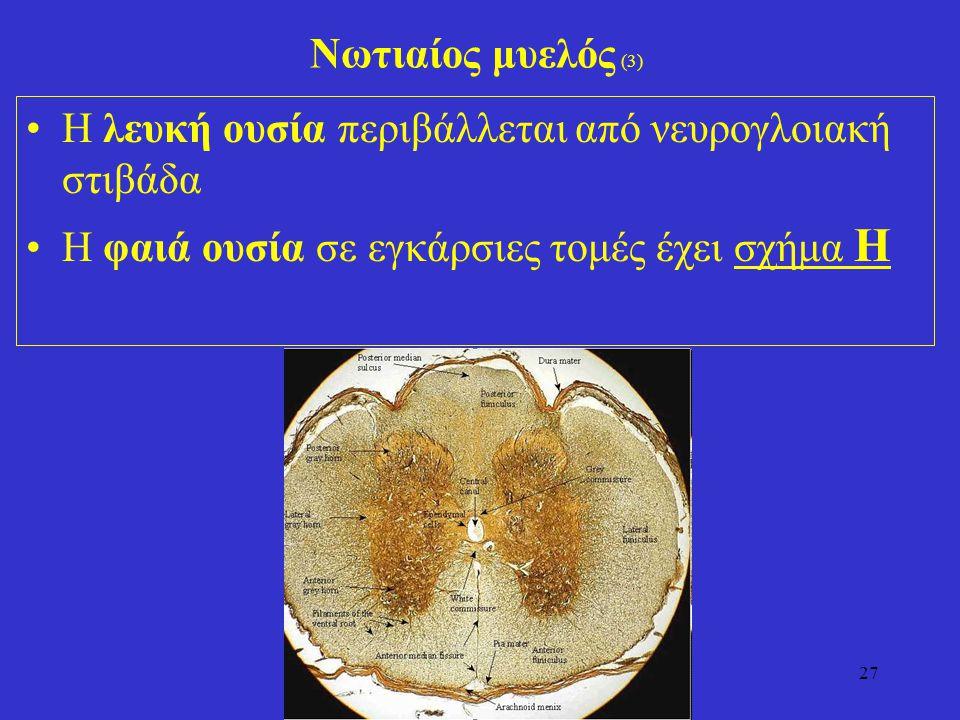 27 Νωτιαίος μυελός (3) Η λευκή ουσία περιβάλλεται από νευρογλοιακή στιβάδα Η φαιά ουσία σε εγκάρσιες τομές έχει σχήμα Η