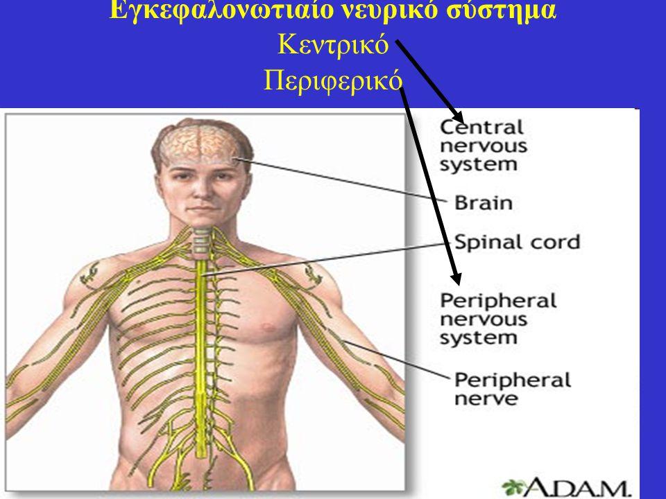 36 Εγκεφαλονωτιαίο νευρικό σύστημα Περιφερικό Νεύρα Εγκεφαλικά Νωτιαία Πολύπλοκο δίκτυο που συνδέει την περιφέρεια του σώματος με το κεντρικό νευρικό σύστημα Νευρικά γάγγλια Μικρά σε μέγεθος σωμάτια από αθροίσματα νευρικών κυττάρων, εκτός του νευρικού συστήματος αλλά συνδεδεμένα με αυτό