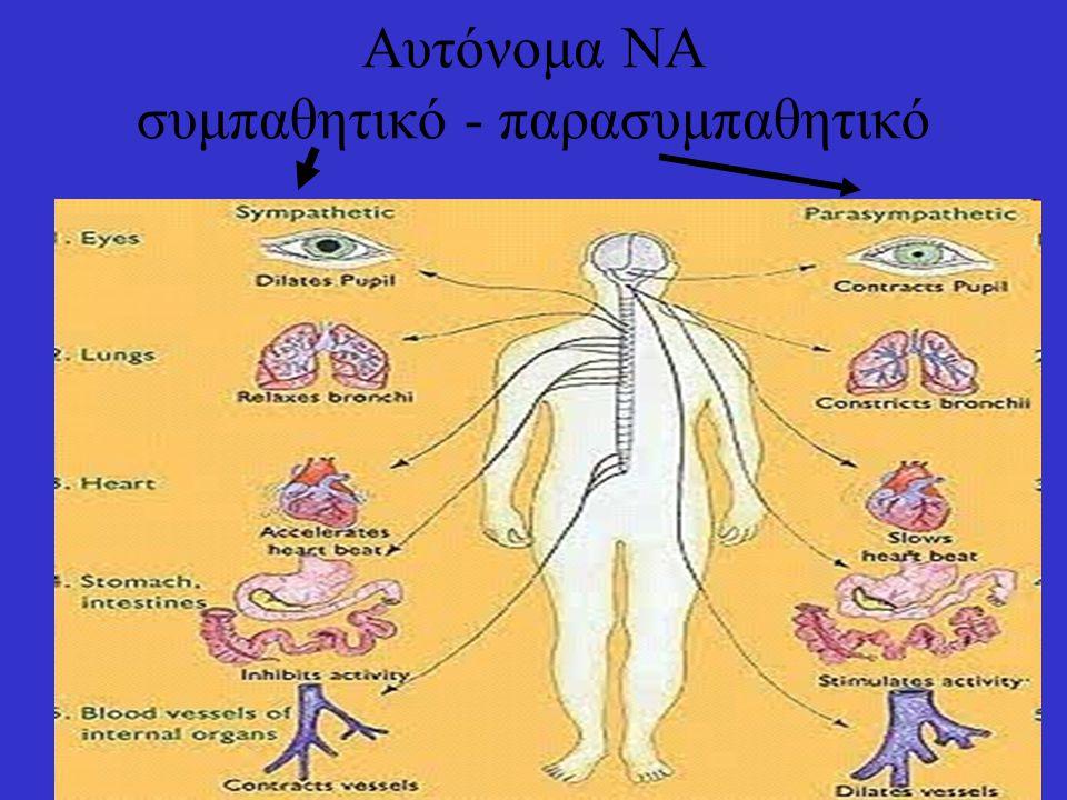8 Νευρικός ιστός Νευρικά κύτταρα Κύτταρα γλοίας