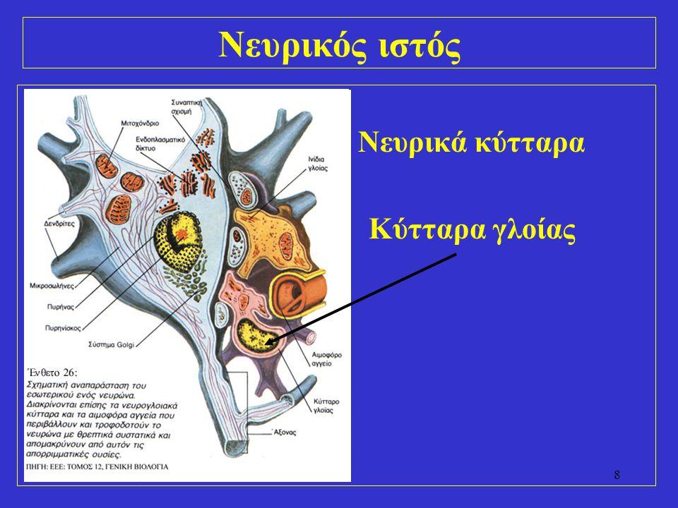 9 Νευρικά κύτταρα (νευρώνες) –φαιά ουσία (εγκέφαλος, νωτιαίος μυελός) –νευρικά γάγγλια –αισθητήρια όργανα (οσφρητικός βλεννογόνος, αμφιβληστροειδής χιτώνας)
