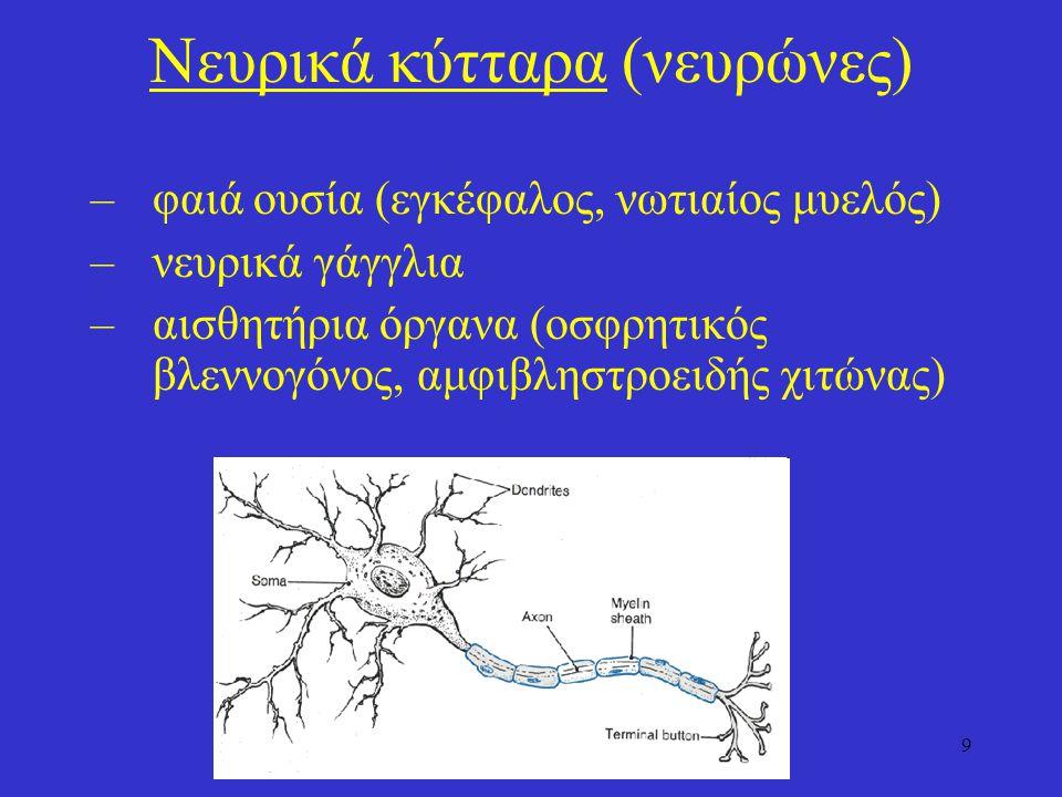 30 Εγκεφαλικά νεύρα Πρόκειται για 12 συζυγίες νεύρων που αναδύονται από τον εγκέφαλο και περιλαμβάνουν από εμπρός προς τα πίσω I.Οσφρητικό (αισθητικό, οι ίνες εκφύονται από δίπολα οσφρητικά κύτταρα) II.Οπτικό (αισθητικό, οι ίνες εκφύονται από γαγγλιακά κύτταρα του αμφιβληστροειδή) III.Κοινό κινητικό (κινητικό) IV.Τροχιλιακό (κινητικό) V.Τρίδυμο (μικτό, οι αισθητικές ίνες εκφύονται από το γάγγλιο του τριδύμου νεύρου) VI.Απαγωγό (κινητικό) VII.Προσωπικό (μικτό, οι αισθητικές ίνες εκφύονται από το γονάτιο γάγγλιο) VIII.Ακουστικό (αισθητικό): διακρίνεται στο αιθουσαίο (οι αισθητικές ίνες εκφύονται από το αιθουσαίο γάγγλιο) και το κοχλιακό (οι αισθητικές ίνες εκφύονται από το ελικοειδές γάγγλιο) IX.Γλωσσοφαρυγγικό (μικτό, οι αισθητικές ίνες εκφύονται από το λιθοειδές γάγγλιο) X.Πνευμονογαστρικό (μικτό, οι αισθητικές ίνες εκφύονται από το σφαγιτιδκό και το οζώδες γάγγλιο) XI.Παραπληρωματικό (κινητικό) XII.Υπογλώσσιο (κινητικό) Οι κινητικές (φυγόκεντρες) ίνες των κινητικών και μικτών εγκεφαλικών νεύρων εκφύονται από κινητικούς πυρήνες του στελέχους του εγκεφάλου