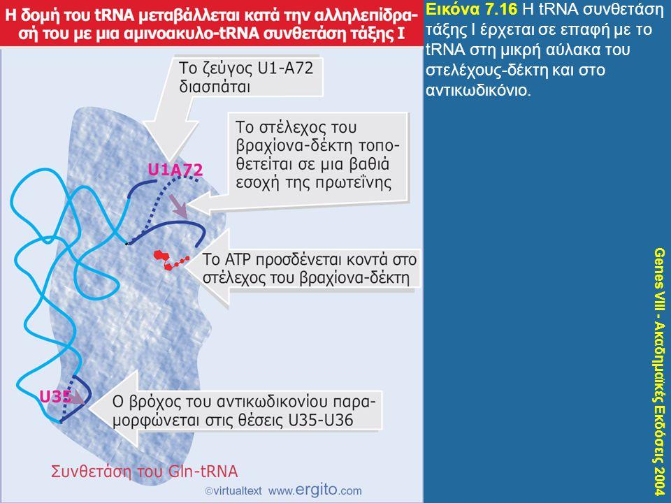 Genes VIII - Ακαδημαϊκές Εκδόσεις 2004 Εικόνα 7.16 H tRNA συνθετάση τάξης Ι έρχεται σε επαφή με το tRNA στη μικρή αύλακα του στελέχους-δέκτη και στο α