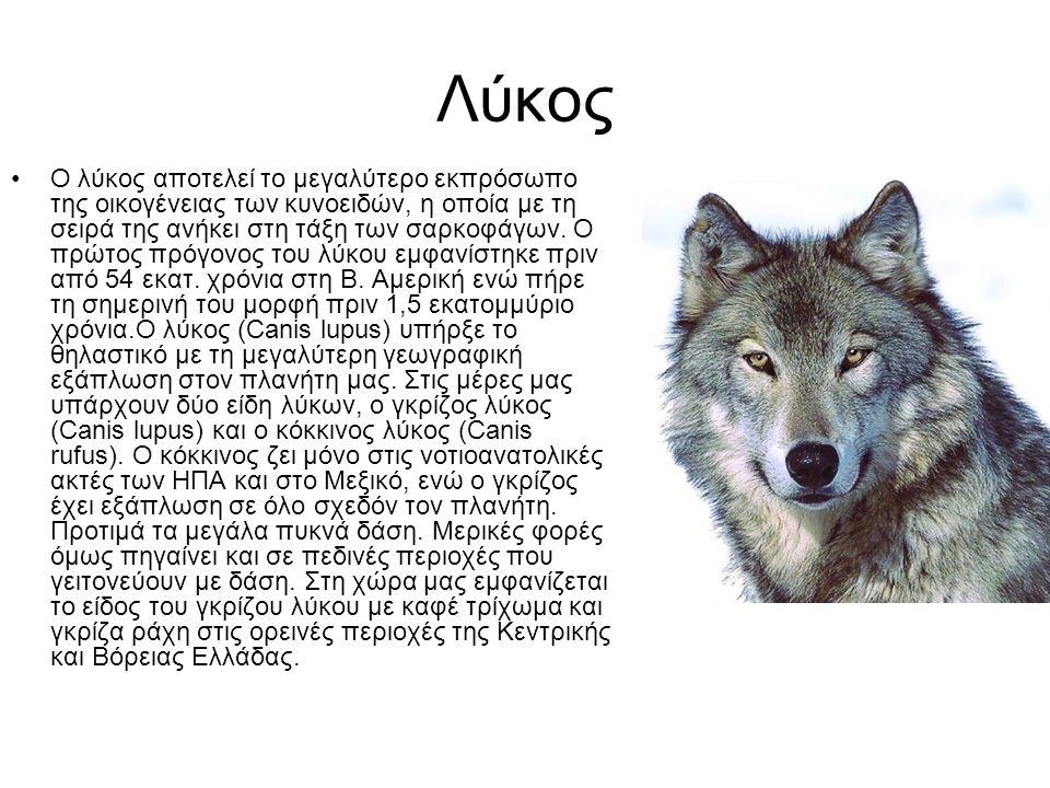 Λύκος Ο λύκος αποτελεί το μεγαλύτερο εκπρόσωπο της οικογένειας των κυνοειδών, η οποία με τη σειρά της ανήκει στη τάξη των σαρκοφάγων. Ο πρώτος πρόγονο