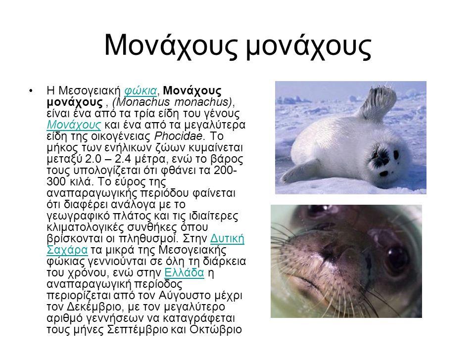 Μονάχους μονάχους Η Μεσογειακή φώκια, Μονάχους μονάχους, (Monachus monachus), είναι ένα από τα τρία είδη του γένους Μονάχους και ένα από τα μεγαλύτερα