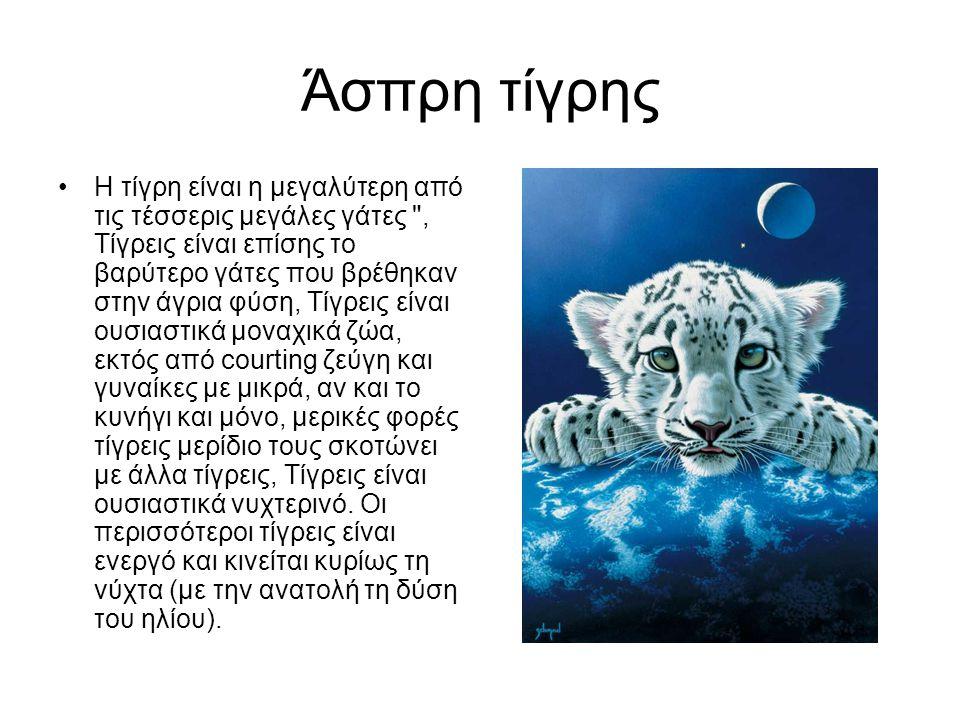 Άσπρη τίγρης Η τίγρη είναι η μεγαλύτερη από τις τέσσερις μεγάλες γάτες