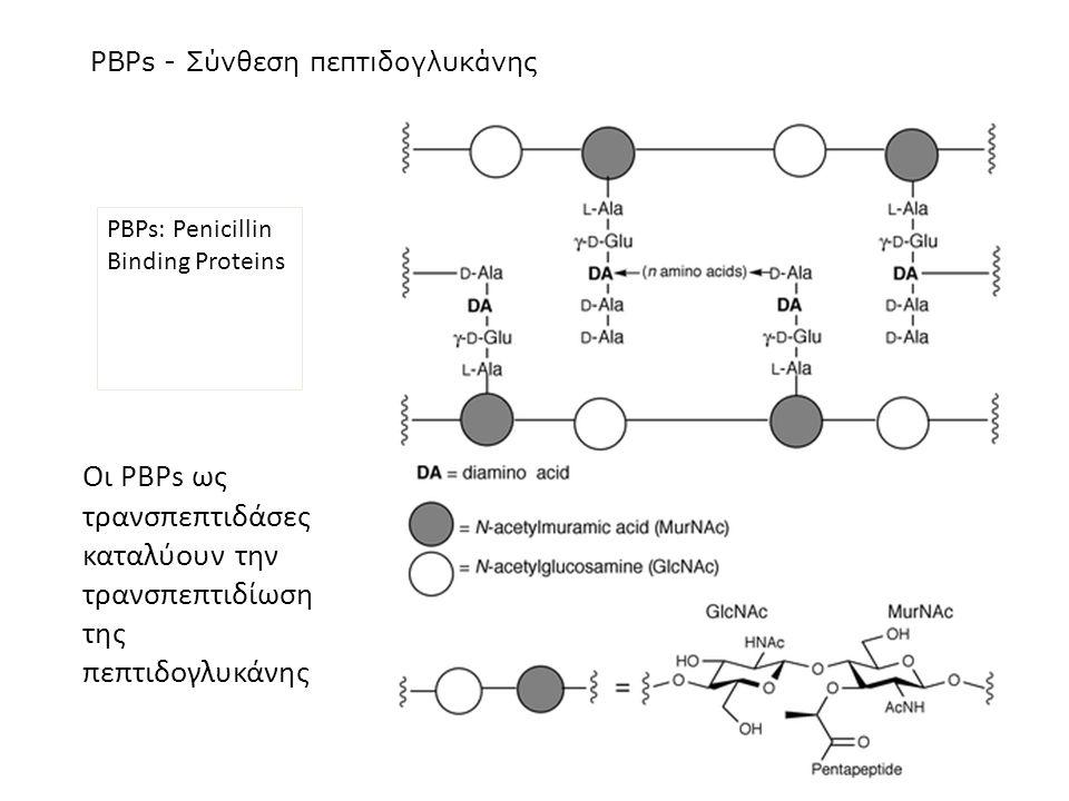 PBPs - Σύνθεση πεπτιδογλυκάνης PBPs: Penicillin Binding Proteins Οι PBPs ως τρανσπεπτιδάσες καταλύουν την τρανσπεπτιδίωση της πεπτιδογλυκάνης