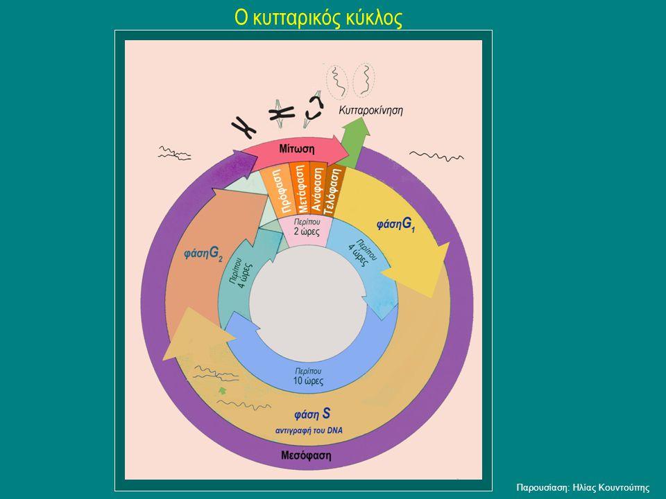 Ο κυτταρικός κύκλος Παρουσίαση: Ηλίας Κουντούπης
