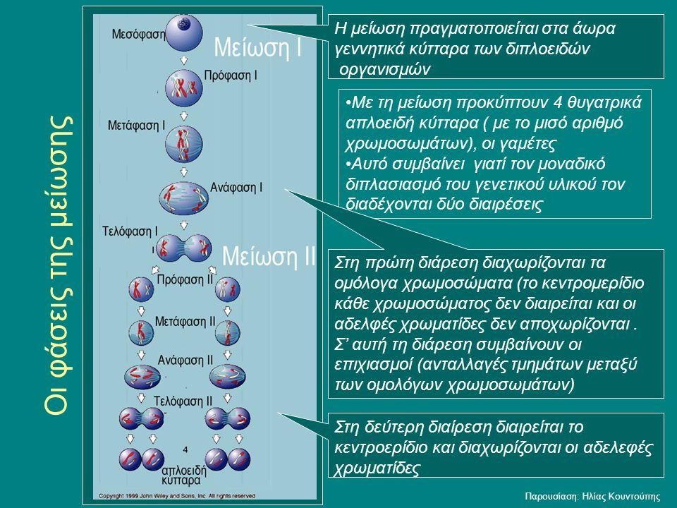 Οι φάσεις της μείωσης Με τη μείωση προκύπτουν 4 θυγατρικά απλοειδή κύτταρα ( με το μισό αριθμό χρωμοσωμάτων), οι γαμέτες Αυτό συμβαίνει γιατί τον μονα