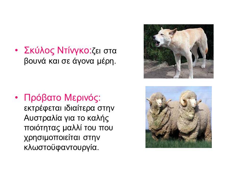 Σκύλος Ντίνγκο: ζει στα βουνά και σε άγονα μέρη.