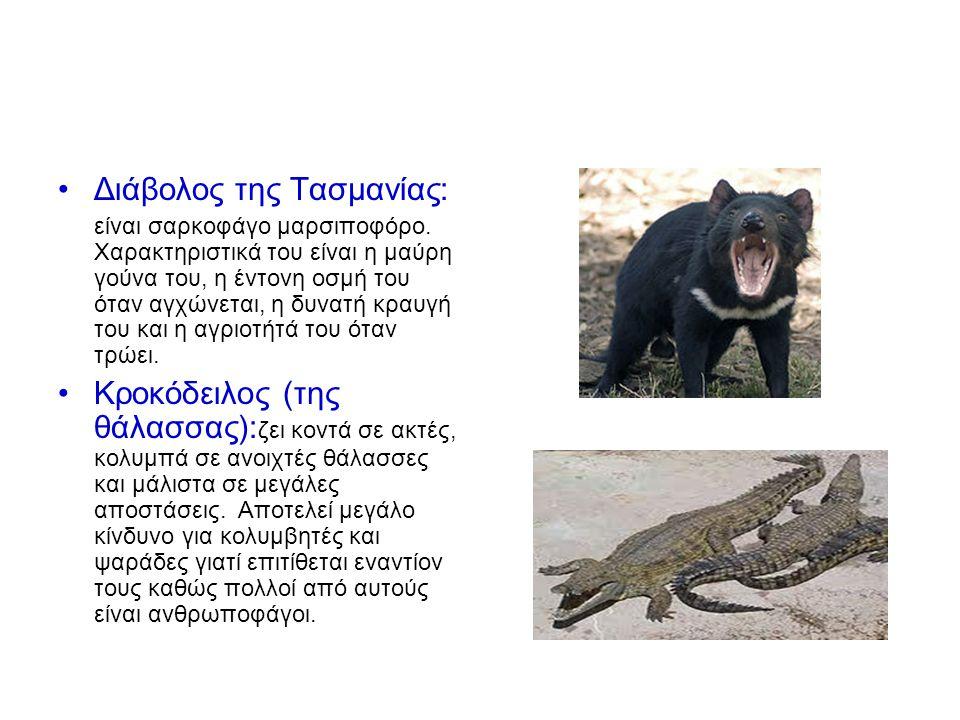 Διάβολος της Τασμανίας: είναι σαρκοφάγο μαρσιποφόρο.