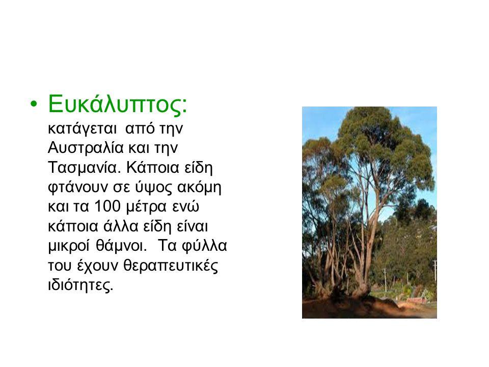 Καζουαρίνα: δέντρο που μεγαλώνει γρήγορα, ευδοκιμεί σε ξερές περιοχές και αντέχει στα σταγονίδια της θάλασσας που παρασέρνει ο αέρας.