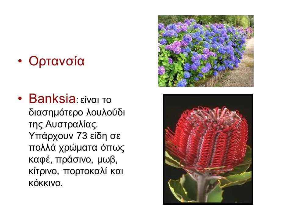 Ορτανσία Banksia : είναι το διασημότερο λουλούδι της Αυστραλίας.