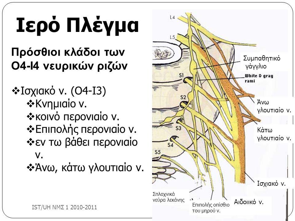 Πρόσθιοι κλάδοι των Ο4-Ι4 νευρικών ριζών  Ισχιακό ν. (Ο4-Ι3)  Κνημιαίο ν.  κοινό περονιαίο ν.  Επιπολής περονιαίο ν.  εν τω βάθει περονιαίο ν. 