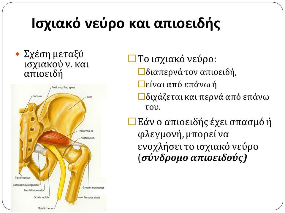 Ισχιακό νεύρο και απιοειδής IST/UH ΝΜΣ 1 2010-2011 Σχέση μεταξύ ισχιακού ν. και απιοειδή  Το ισχιακό νεύρο:  διαπερνά τον απιοειδή,  είναι από επάν