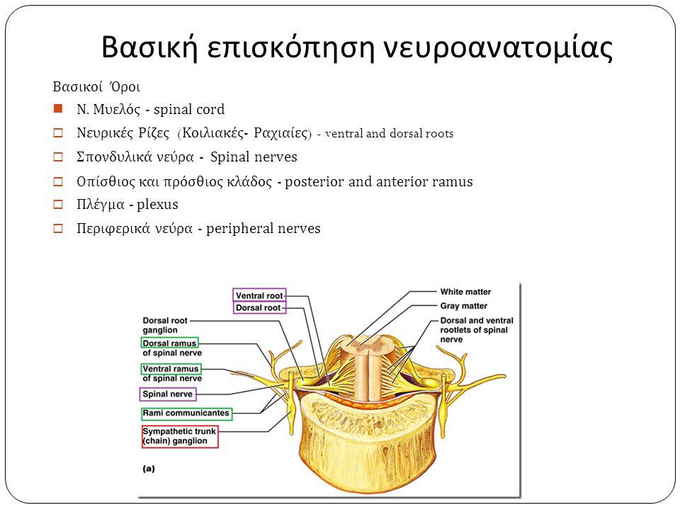 Βασική επισκόπηση νευροανατομίας Βασικοί Όροι Ν. Μυελός - spinal cord  Νευρικές Ρίζες ( Κοιλιακές- Ραχιαίες ) - ventral and dorsal roots  Σπονδυλικά