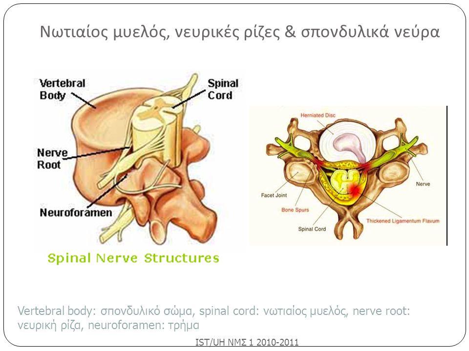 Νωτιαίος μυελός, νευρικές ρίζες & σπονδυλικά νεύρα IST/UH ΝΜΣ 1 2010-2011 Vertebral body: σπονδυλικό σώμα, spinal cord: νωτιαίος μυελός, nerve root: ν