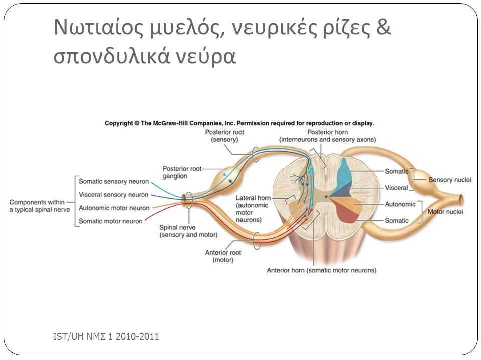 Νωτιαίος μυελός, νευρικές ρίζες & σπονδυλικά νεύρα IST/UH ΝΜΣ 1 2010-2011