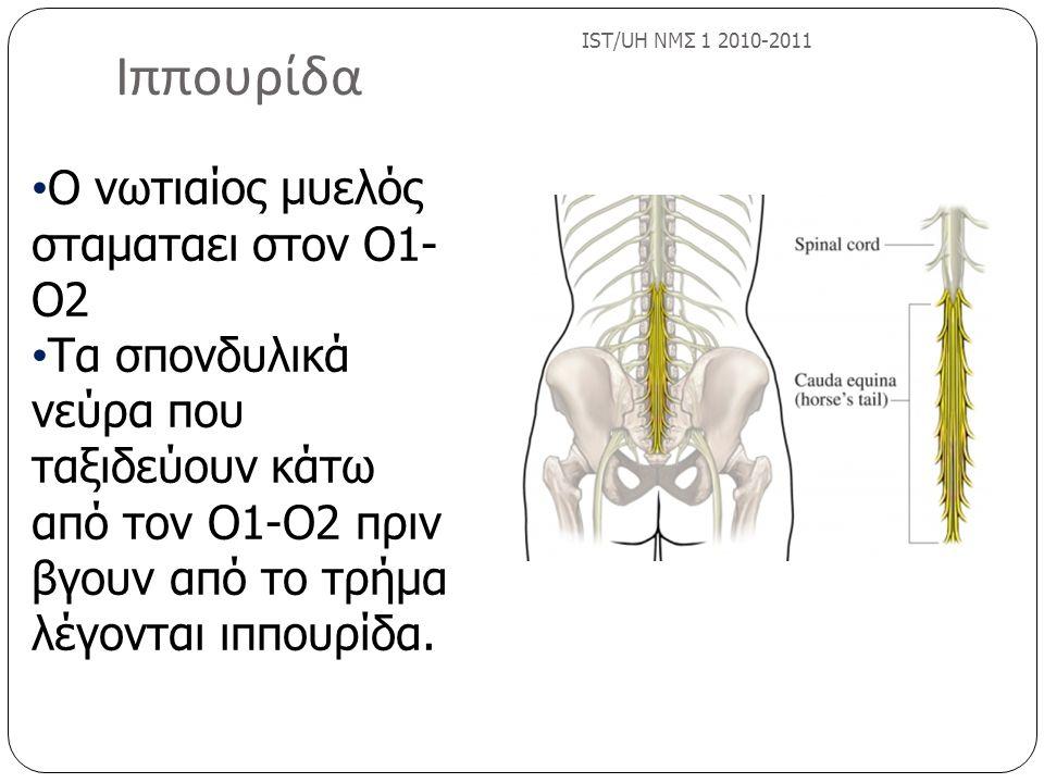 Ιππουρίδα IST/UH ΝΜΣ 1 2010-2011 Ο νωτιαίος μυελός σταματαει στον Ο1- Ο2 Τα σπονδυλικά νεύρα που ταξιδεύουν κάτω από τον Ο1-Ο2 πριν βγουν από το τρήμα