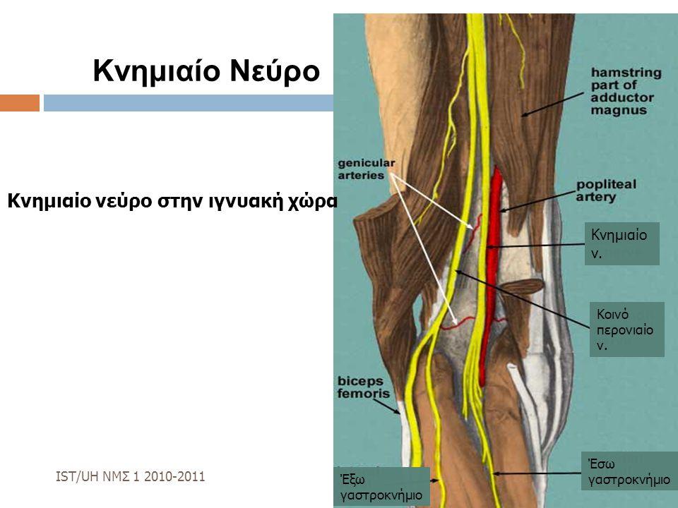 Κνημιαίο Νεύρο Κνημιαίο νεύρο στην ιγνυακή χώρα IST/UH ΝΜΣ 1 2010-2011 Κνημιαίο ν. Κοινό περονιαίο ν. Έσω γαστροκνήμιο Έξω γαστροκνήμιο