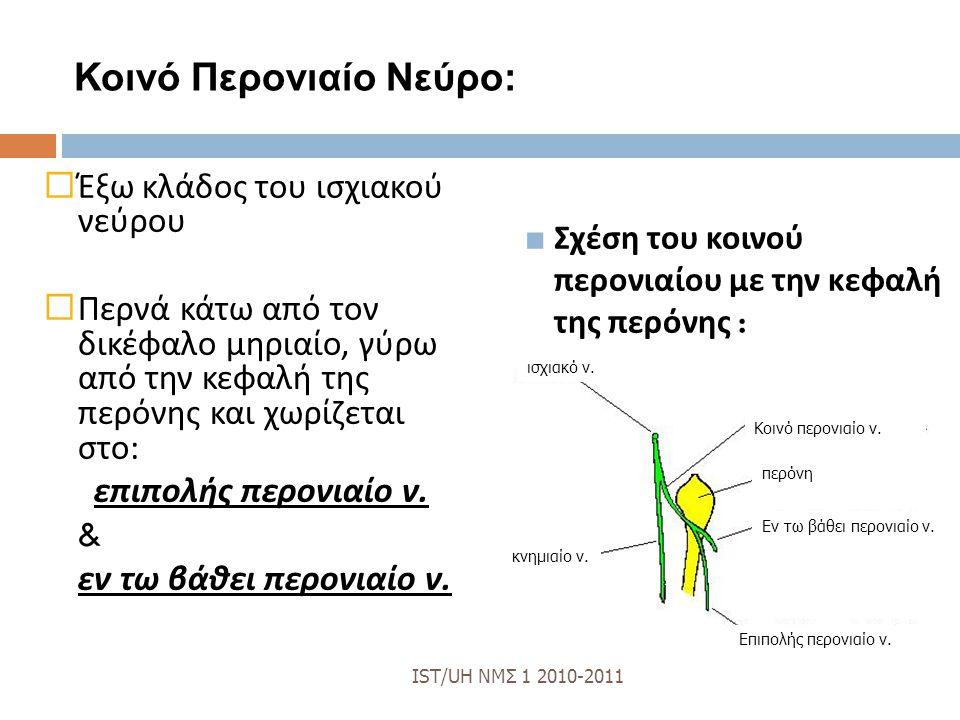 Κοινό Περονιαίο Νεύρο:  Έξω κλάδος του ισχιακού νεύρου  Περνά κάτω από τον δικέφαλο μηριαίο, γύρω από την κεφαλή της περόνης και χωρίζεται στο : επιπολής περονιαίο ν.