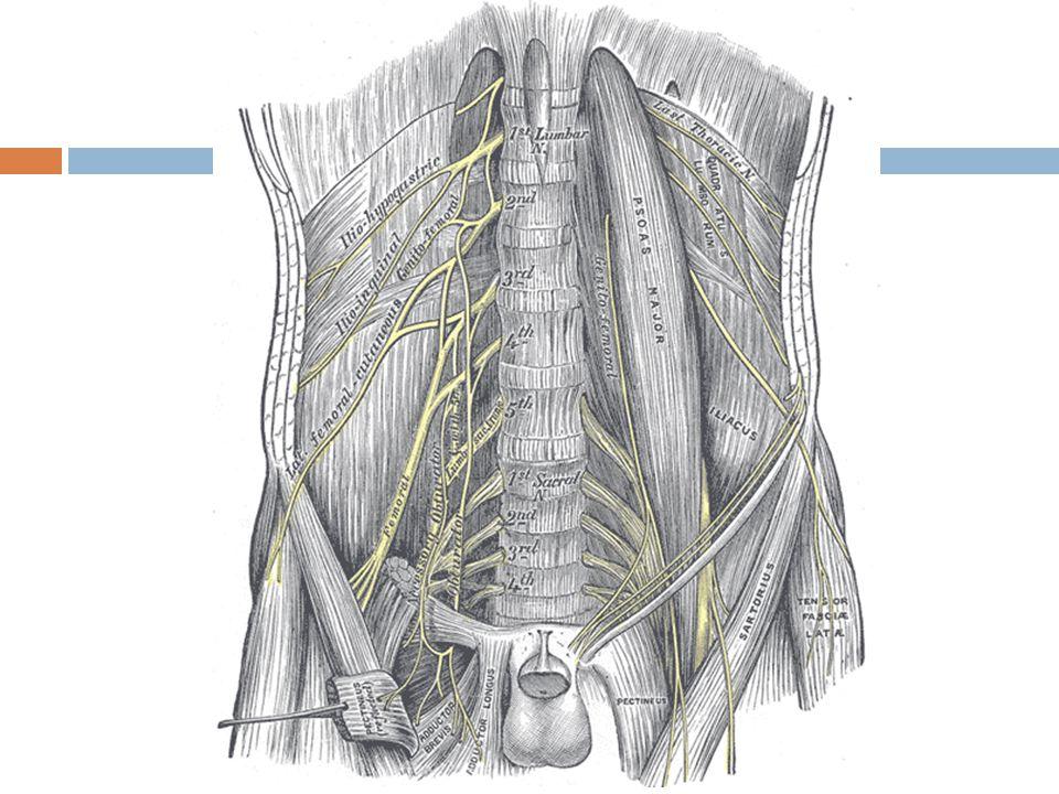 Τα σημαντικότερα στοιχεία του οσφυϊκού πλέγματος  Μηριαίο νεύρο νευρώνει τον ραπτικό, λαγονοψοϊτη και τον τετρακέφαλο δίδει κλάδους για την άρθρωση του ισχίου και του γόνατος συνεχίζει ως σαφηνές νεύρο  Θυροειδές νεύρο νευρώνει του προσαγωγούς μύες, υπεύθυνο για την αισθητικότητα του έσω τμήματος του μηρού και δίδει κλάδους για την άρθρωση του ισχίου  Επιπολής έξω πλάγιο του μηρού Νευρώνει αισθητικά το έξω πλάγιο τμήμα του μηρού IST/UH ΝΜΣ 1 2010-2011
