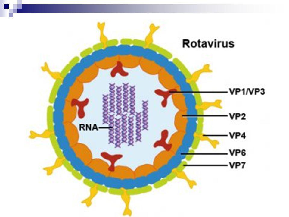 Πρωτεΐνες Υπάρχουν 6 ιικές πρωτεΐνες (VPs) που συγκροτούν το σωματίδιο του ιού(βίριο).