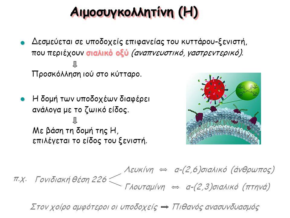 Αιμοσυγκολλητίνη (H) Γονιδιακή θέση 226 Λευκίνη α-(2,6)σιαλικό (άνθρωπος) Γλουταμίνη α-(2,3)σιαλικό (πτηνά) Στον χοίρο αμφότεροι οι υποδοχείς Πιθανός ανασυνδυασμός π.χ.