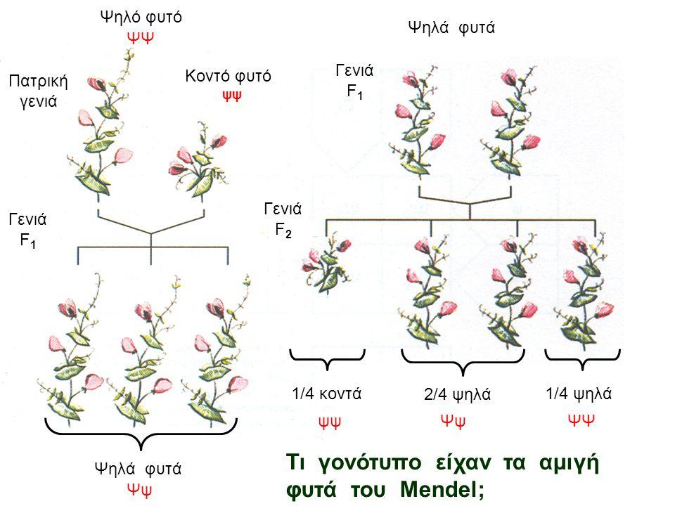 Πατρική γενιά Γενιά F 1 Γενιά F 2 Ψηλό φυτό Κοντό φυτό Ψηλά φυτά 1/4 κοντά 2/4 ψηλά 1/4 ψηλά ΨΨ ψψ Ψψ ψψΨψΨΨ Τι γονότυπο είχαν τα αμιγή φυτά του Mendel;