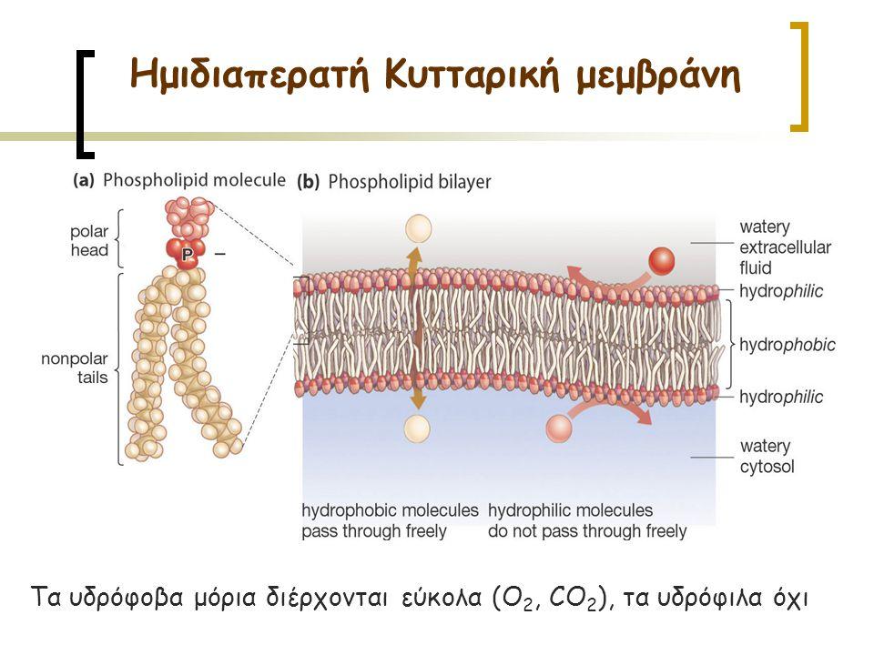 Τα υδρόφοβα μόρια διέρχονται εύκολα (O 2, CO 2 ), τα υδρόφιλα όχι Ημιδιαπερατή Κυτταρική μεμβράνη