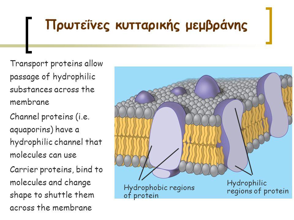 Πρωτεΐνες κυτταρικής μεμβράνης Hydrophobic regions of protein Hydrophilic regions of protein Transport proteins allow passage of hydrophilic substances across the membrane Channel proteins (i.e.