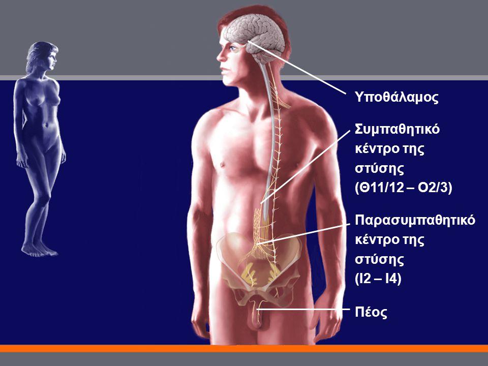 Πέος Υποθάλαμος Παρασυμπαθητικό κέντρο της στύσης (Ι2 – Ι4) Συμπαθητικό κέντρο της στύσης (Θ11/12 – Ο2/3)