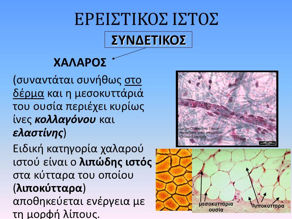 ΕΡΕΙΣΤΙΚΟΣ ΙΣΤΟΣ ΧΑΛΑΡΟΣ (συναντάται συνήθως στο δέρμα και η μεσοκυττάριά του ουσία περιέχει κυρίως ίνες κολλαγόνου και ελαστίνης) Ειδική κατηγορία χαλαρού ιστού είναι ο λιπώδης ιστός στα κύτταρα του οποίου (λιποκύτταρα) αποθηκεύεται ενέργεια με τη μορφή λίπους.