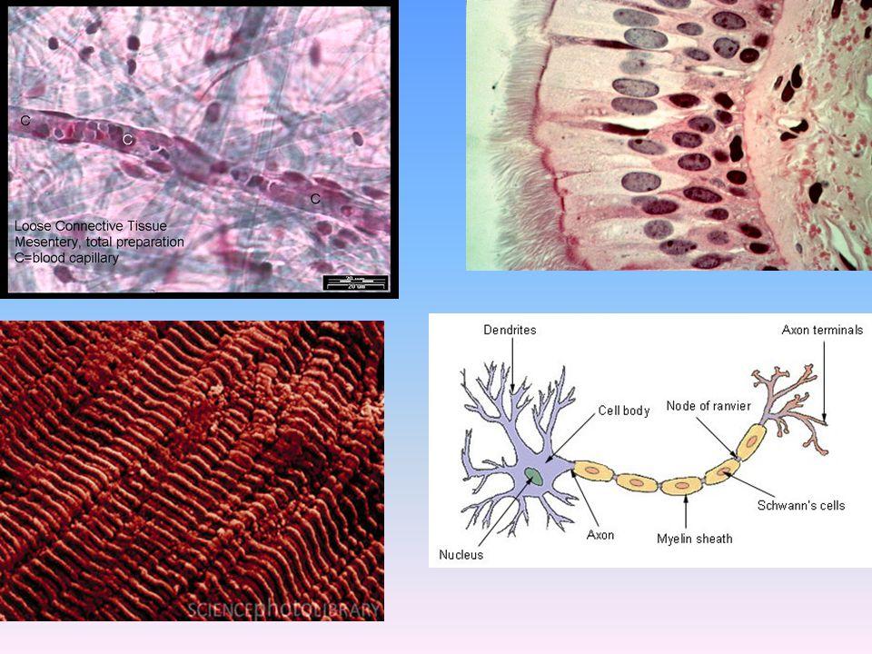 ΖΥΓΩΤΟ Όλα όμως τα κύτταρα έχουν προέλθει από αλλεπάλληλες διαιρέσεις ενός και μόνο κυττάρου: ΤΟΥ ΖΥΓΩΤΟΥ