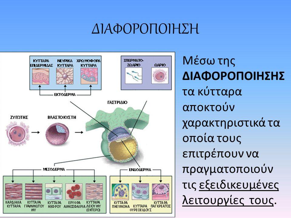 ΔΙΑΦΟΡΟΠΟΙΗΣΗ Μέσω της ΔΙΑΦΟΡΟΠΟΙΗΣΗΣ τα κύτταρα αποκτούν χαρακτηριστικά τα οποία τους επιτρέπουν να πραγματοποιούν τις εξειδικευμένες λειτουργίες τους.