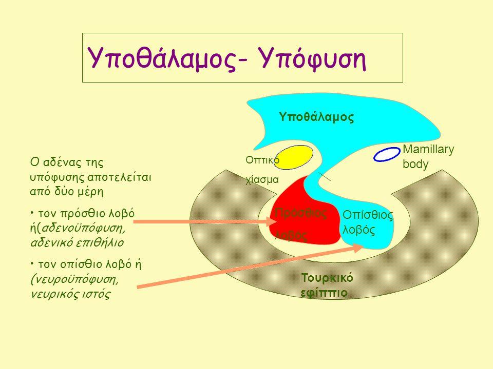 Τουρκικό εφίππιο Πρόσθιος λοβός Οπτικό χίασμα Mamillary body Υποθάλαμος Οπίσθιος λοβός Ο αδένας της υπόφυσης αποτελείται από δύο μέρη τον πρόσθιο λοβό ή(αδενοϋπόφυση, αδενικό επιθήλιο τον οπίσθιο λοβό ή (νευροϋπόφυση, νευρικός ιστός Yποθάλαμος- Υπόφυση
