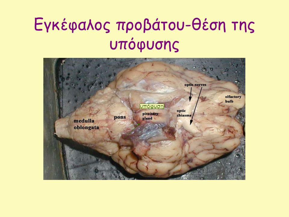 Εγκέφαλος προβάτου-θέση της υπόφυσης υπόφυση