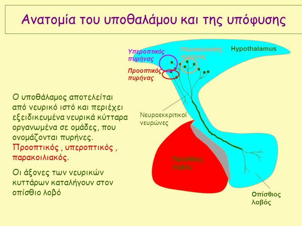 Πρόσθιος λοβός Οπίσθιος λοβός Νευροεκκριτικοί νευρώνες Hypothalamus Υπεροπτικός πυρήνας Παρακοιλιακός πυρήνας Προοπτικός πυρήνας Ο υποθάλαμος αποτελείται από νευρικό ιστό και περιέχει εξειδικευμένα νευρικά κύτταρα οργανωμένα σε ομάδες, που ονομάζονται πυρήνες.