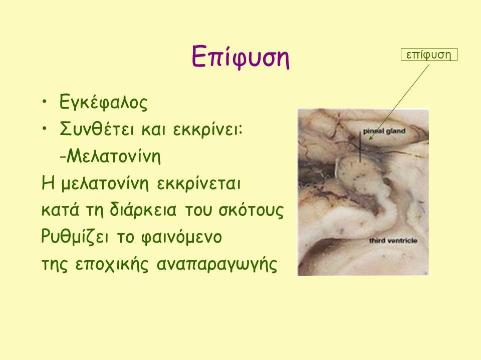 Επίφυση Εγκέφαλος Συνθέτει και εκκρίνει: -Μελατονίνη Η μελατονίνη εκκρίνεται κατά τη διάρκεια του σκότους Ρυθμίζει το φαινόμενο της εποχικής αναπαραγωγής επίφυση