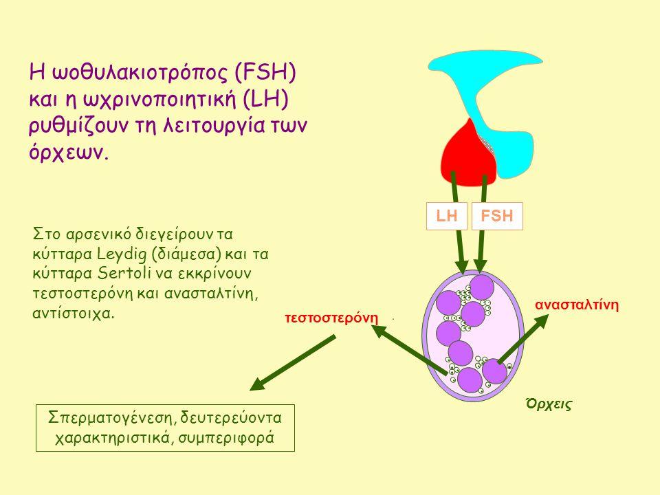 Η ωοθυλακιοτρόπος (FSH) και η ωχρινοποιητική (LH) ρυθμίζουν τη λειτουργία των όρχεων.