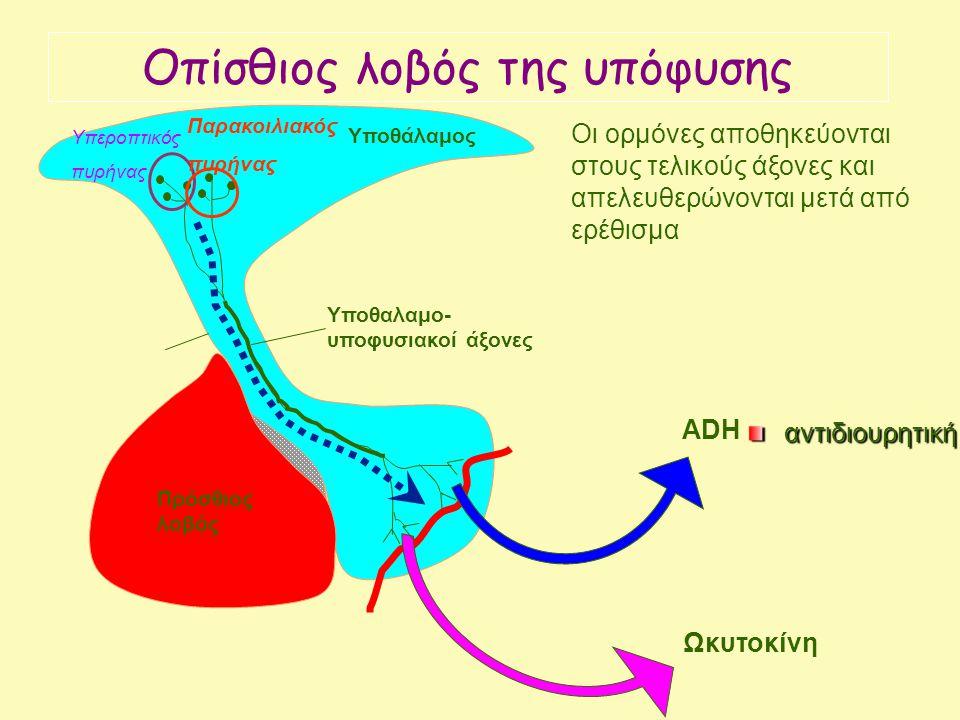 Anterior pituitary Υποθάλαμος Πρόσθιος λοβός Ωκυτοκίνη ADH Υποθαλαμο- υποφυσιακοί άξονες Οι ορμόνες αποθηκεύονται στους τελικούς άξονες και απελευθερώνονται μετά από ερέθισμα Υπεροπτικός πυρήνας Παρακοιλιακός πυρήνας Oπίσθιος λοβός της υπόφυσης αντιδιουρητική