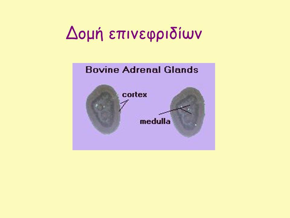 Δομή επινεφριδίων