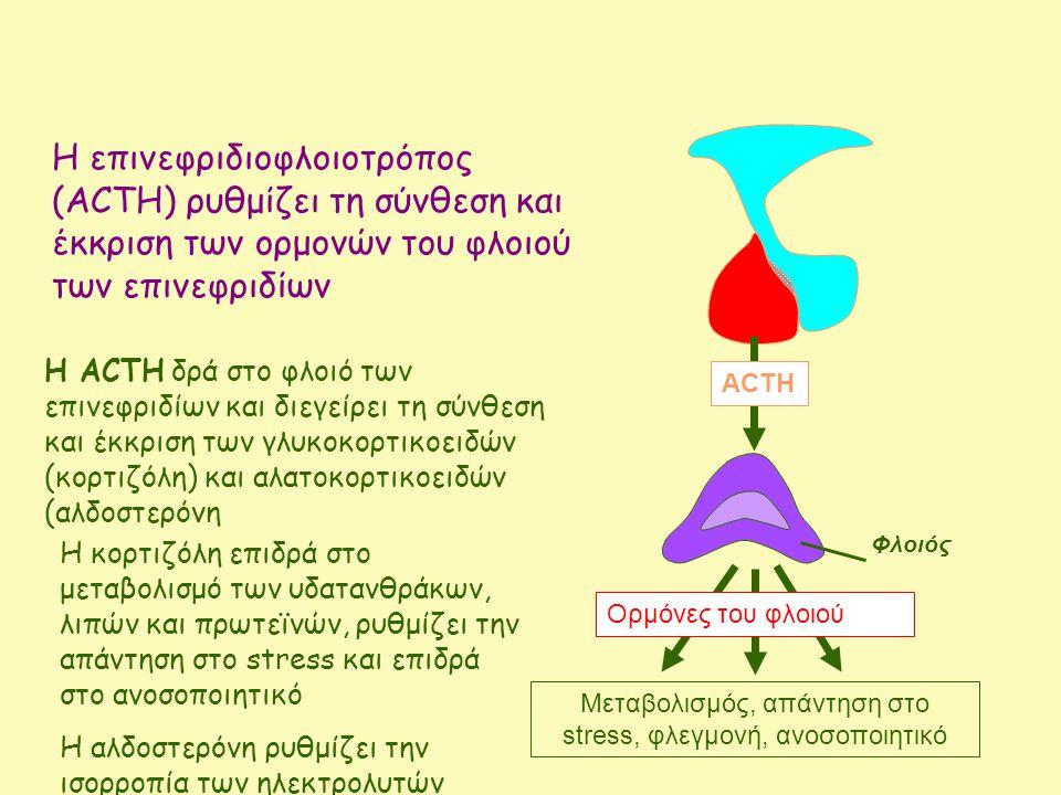 Η επινεφριδιοφλοιοτρόπος (ACTH) ρυθμίζει τη σύνθεση και έκκριση των ορμονών του φλοιού των επινεφριδίων ACTH Η ΑCTH δρά στο φλοιό των επινεφριδίων και διεγείρει τη σύνθεση και έκκριση των γλυκοκορτικοειδών (κορτιζόλη) και αλατοκορτικοειδών (αλδοστερόνη Μεταβολισμός, απάντηση στο stress, φλεγμονή, ανοσοποιητικό Ορμόνες του φλοιού Φλοιός Η κορτιζόλη επιδρά στο μεταβολισμό των υδατανθράκων, λιπών και πρωτεϊνών, ρυθμίζει την απάντηση στο stress και επιδρά στο ανοσοποιητικό Η αλδοστερόνη ρυθμίζει την ισορροπία των ηλεκτρολυτών