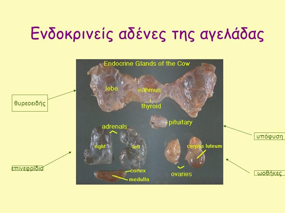 Διεγείρεται από το θηλασμό ή άμελξη και από την πίεση που ασκεί το έμβρυο στη μήτρα ωκυτοκίνη Εξωτερικά ερεθίσματα, πχ θηλασμός Διεγείρει τις συσπάσεις της μήτρας κατά τον τοκετό και την έκκριση του γάλακτος από τους μαστούς μετά τον τοκετό Οπίσθιος λοβός Ωκυτοκίνη