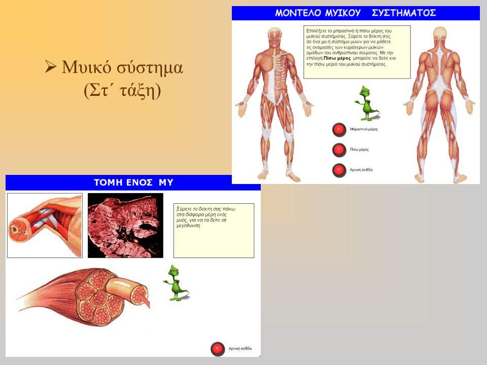  Μυικό σύστημα (Στ΄ τάξη)