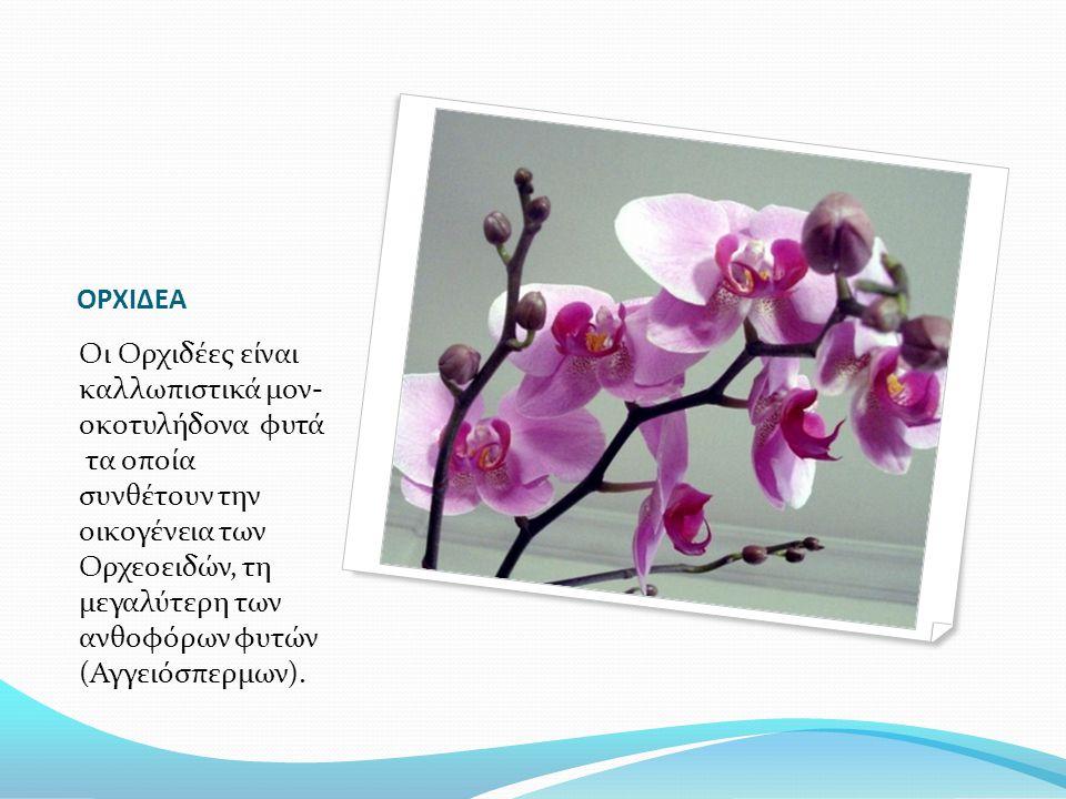 ΟΡΧΙΔΕΑ Οι Ορχιδέες είναι καλλωπιστικά μον- οκοτυλήδονα φυτά τα οποία συνθέτουν την οικογένεια των Ορχεοειδών, τη μεγαλύτερη των ανθοφόρων φυτών (Αγγε