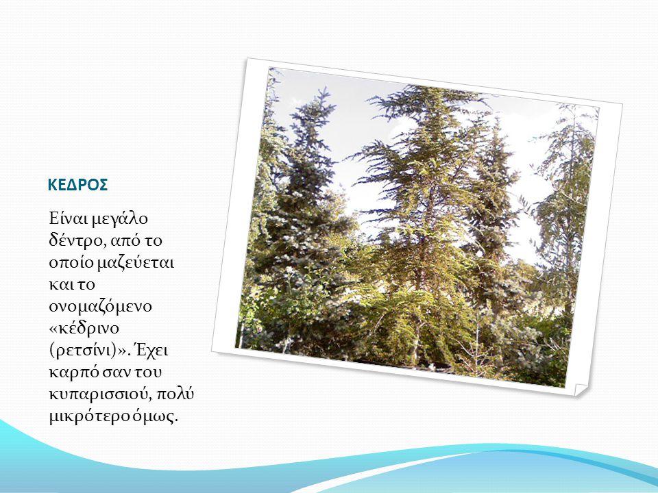ΚΕΔΡΟΣ Eίναι μεγάλο δέντρο, από το οποίο μαζεύεται και το ονομαζόμενο «κέδρινο (ρετσίνι)». Έχει καρπό σαν του κυπαρισσιού, πολύ μικρότερο όμως.
