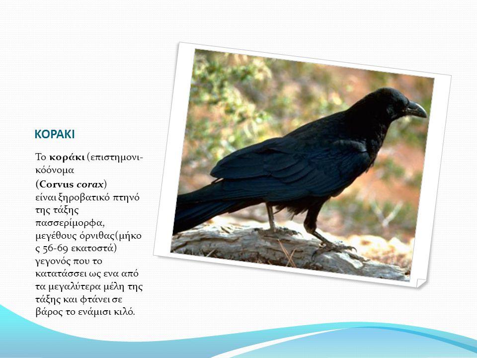 ΚΟΡΑΚΙ Το κοράκι (επιστημονι- κόόνομα (Corvus corax) είναι ξηροβατικό πτηνό της τάξης πασσερίμορφα, μεγέθους όρνιθας(μήκο ς 56-69 εκατοστά) γεγονός πο