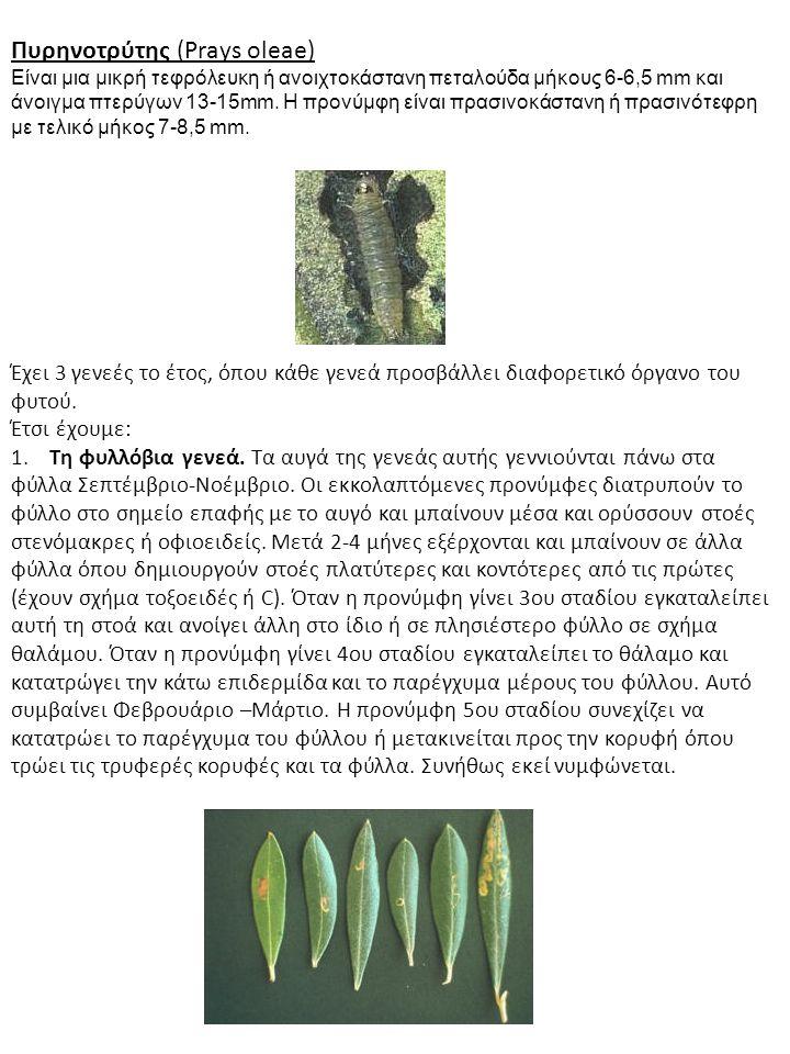 Πυρηνοτρύτης (Prays oleae) Είναι μια μικρή τεφρόλευκη ή ανοιχτοκάστανη πεταλούδα μήκους 6-6,5 mm και άνοιγμα πτερύγων 13-15mm. Η προνύμφη είναι πρασιν